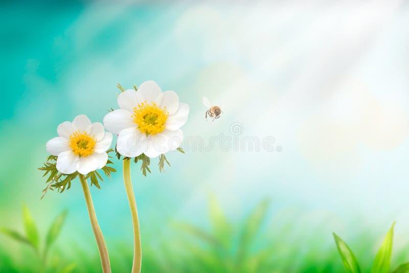 Mooie witte Japanse anemoonbloem op de lente groen gebied en vliegende hommel in aardmacro op zachte onscherpe lichte achtergrond royalty-vrije stock foto's