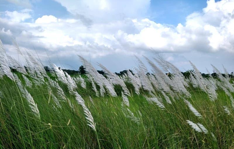 Mooie witte kash of Kans-grasbloem met blauwe hemel witte wolk royalty-vrije stock foto