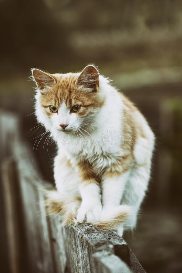 Mooie witte kat die op houten omheining onder de blauwe de zomerhemel lopen royalty-vrije stock foto's