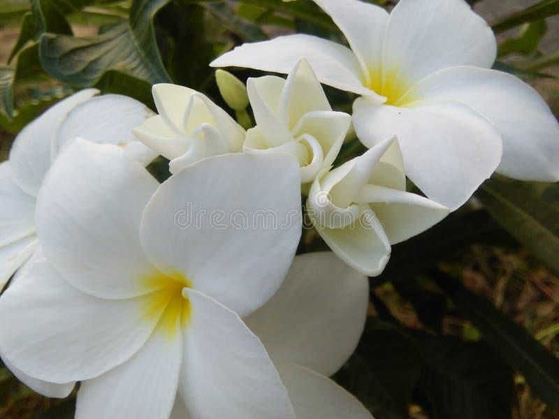 Mooie witte kleurenbloemen van sri lankankan foto's royalty-vrije stock foto's