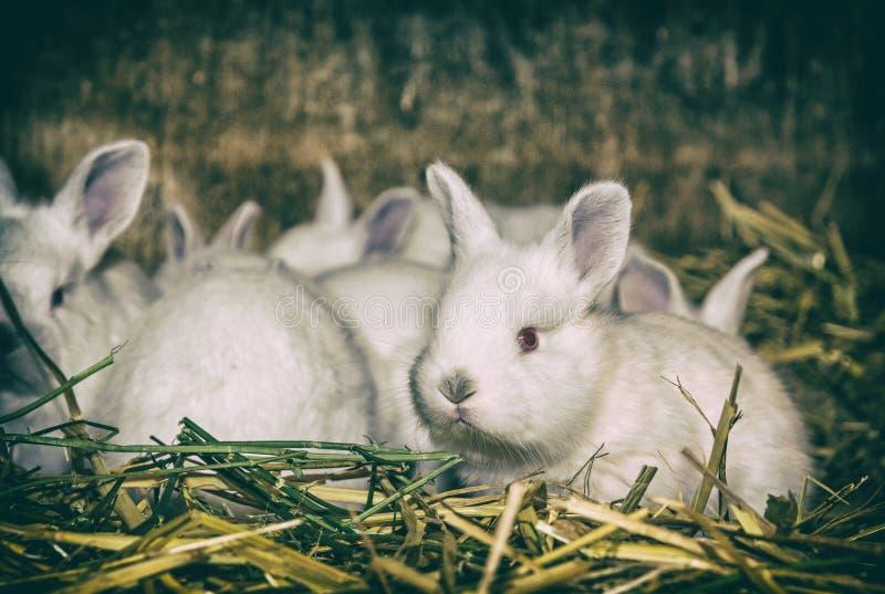 Mooie witte konijnen, analoge filter royalty-vrije stock afbeeldingen
