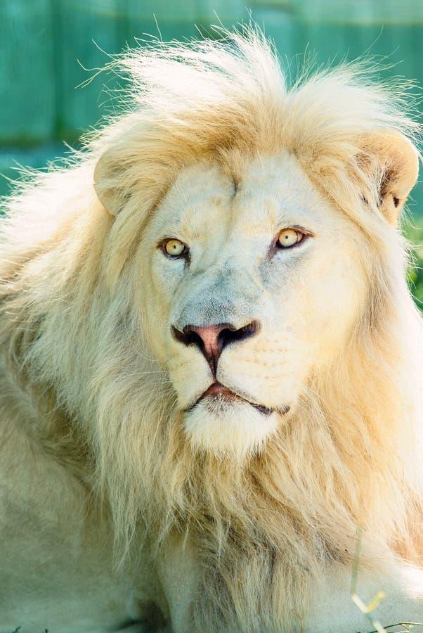 Mooie witte leeuw stock afbeelding