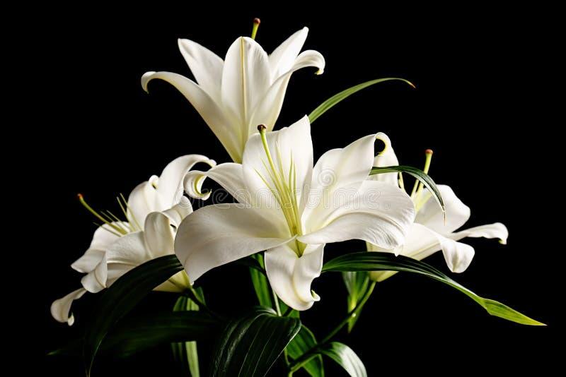 Mooie witte lelies stock afbeelding