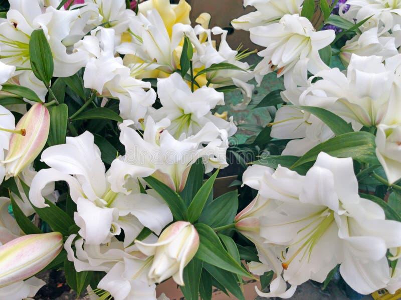 Mooie witte lelies royalty-vrije stock foto