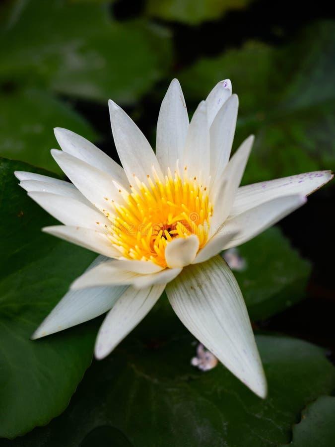 Mooie Witte Lotus Flower met insect en groen blad royalty-vrije stock foto's