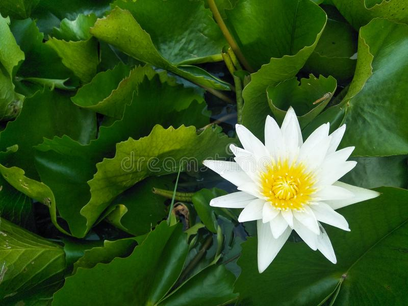 Mooie witte lotusbloem en groene bladerenachtergrond royalty-vrije stock fotografie