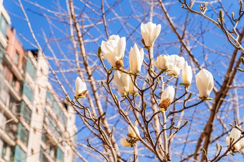 Mooie witte magnolia op blauwe hemel stedelijke achtergrond royalty-vrije stock afbeelding