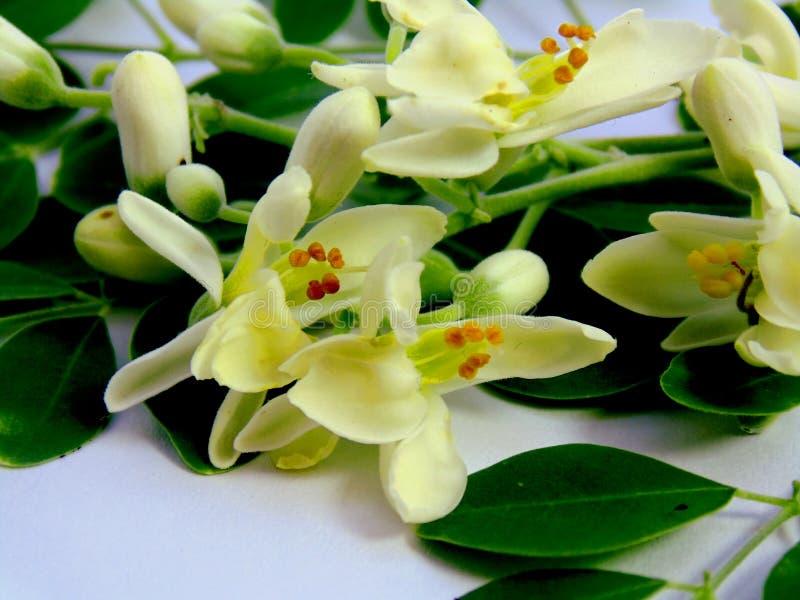 Mooie witte moringa/Trommelstokbloem stock afbeelding