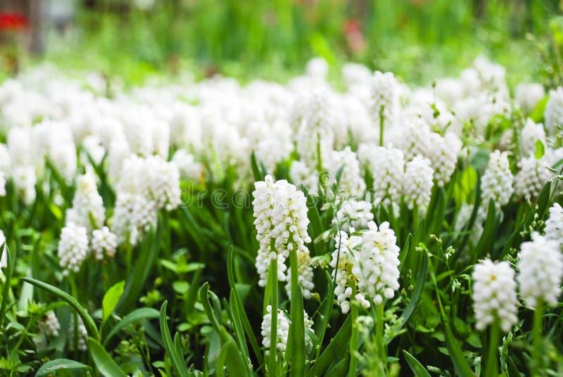 Mooie witte muscari stock afbeeldingen