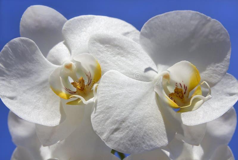 Mooie witte orchidee met ongebruikelijke kern stock afbeelding