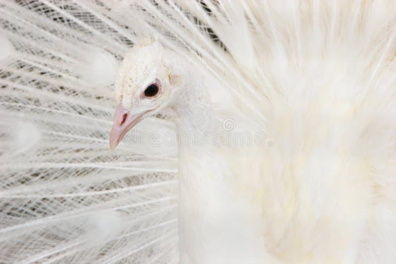 Mooie witte pauw royalty-vrije stock afbeelding