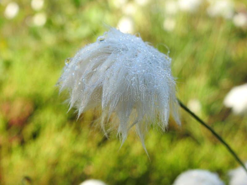 Mooie witte pluis in weide, Litouwen stock foto