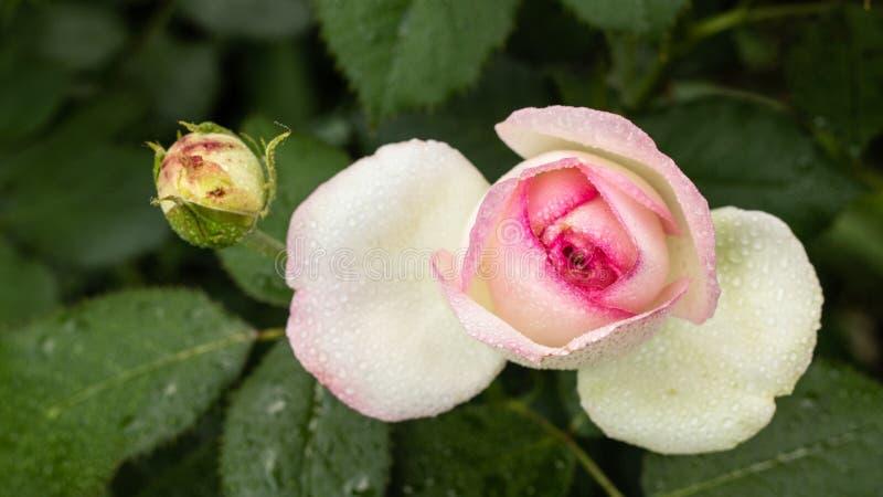 mooie witte redand nam Bush van rode en witte rozen toe royalty-vrije stock foto's