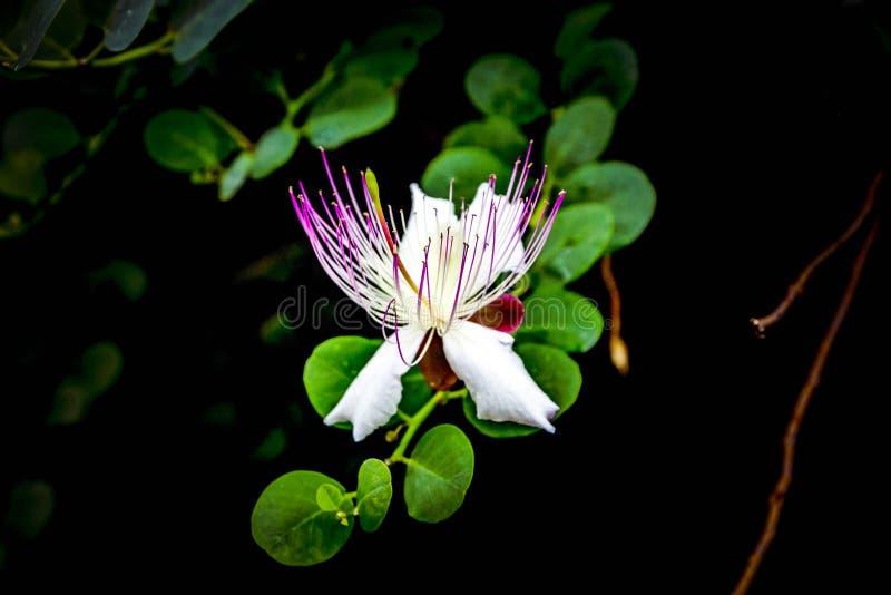Mooie witte roze Capparis-spinosabloem met groene bladeren op zwarte achtergrond royalty-vrije stock foto