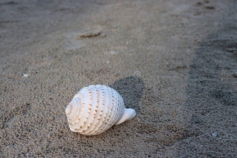 Mooie witte shell op donkere zandig op het tropische strand met exemplaar ruimteachtergrond royalty-vrije stock foto