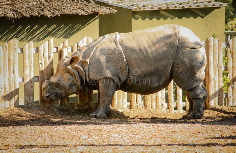 Mooie witte simum van rinocerosceratotherium op een landbouwbedrijf of toevluchtsoord met de gefilmde hoorn royalty-vrije stock afbeeldingen