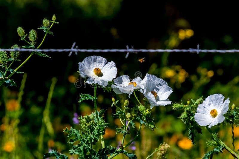 Mooie Witte Stekelige Papaver (Argemone albiflora) Wildflowers i royalty-vrije stock foto's