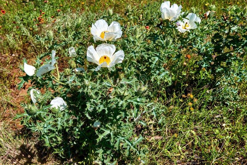 Mooie Witte Stekelige Poppy Plant Argemone-albiflora Texas Bull Nettle Sluit omhoog royalty-vrije stock afbeeldingen