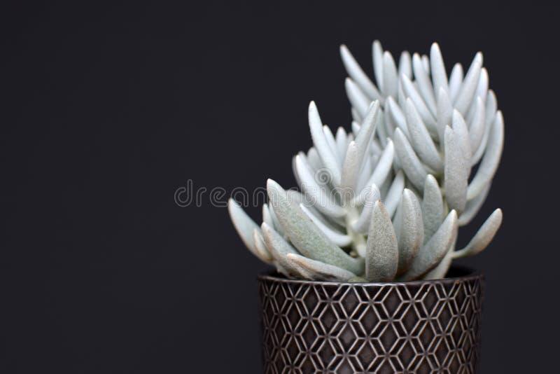 Mooie witte succulente ingemaakte het huisinstallatie van Senecio Haworthii op donkere achtergrond stock foto