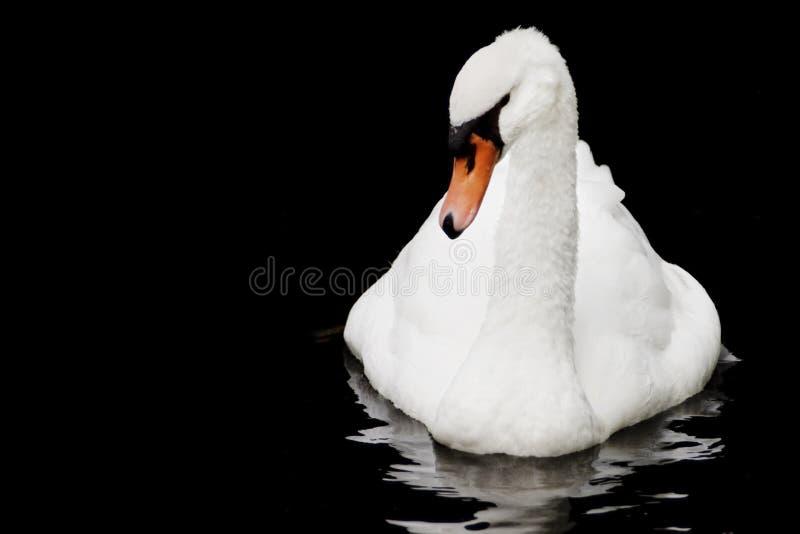 Mooie witte Trompetterzwaan die op zwarte waterachtergrond drijven royalty-vrije stock afbeelding