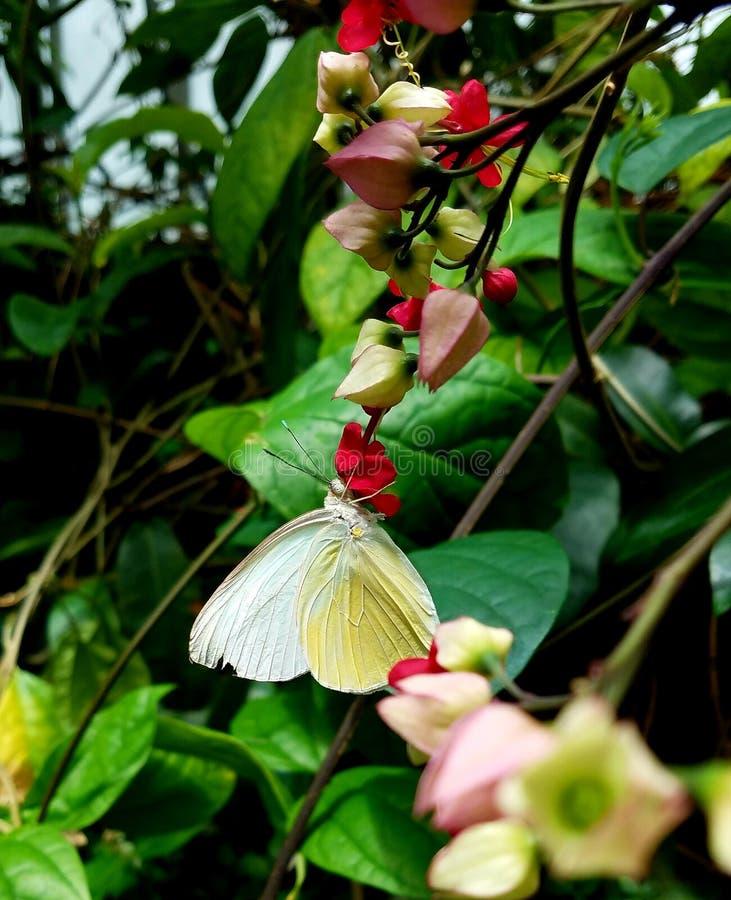 Mooie witte vlinder die op een rode bloem in een briljante groene tuin rusten royalty-vrije stock foto