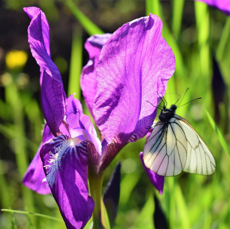 Mooie witte vlinder op bloeiende purpere irissen stock foto