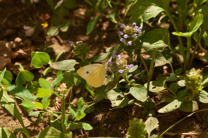 Mooie witte vlinder op bloem in de tuin stock foto's