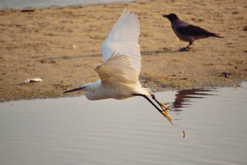 Download Mooie Witte Vogel Die Over De Kust Vliegen Stock Afbeelding - Afbeelding bestaande uit vlieg, solitair: 107701125