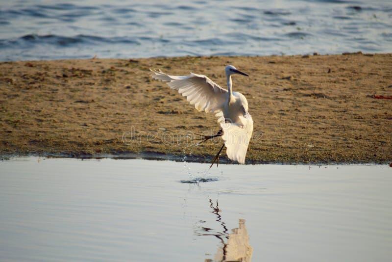 Download Mooie Witte Vogel Die Weg Vliegen Stock Foto - Afbeelding bestaande uit uitstekend, mooi: 107701120