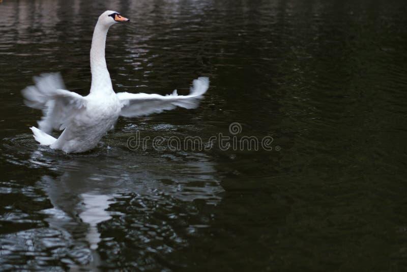 Mooie witte zwaan stock afbeelding