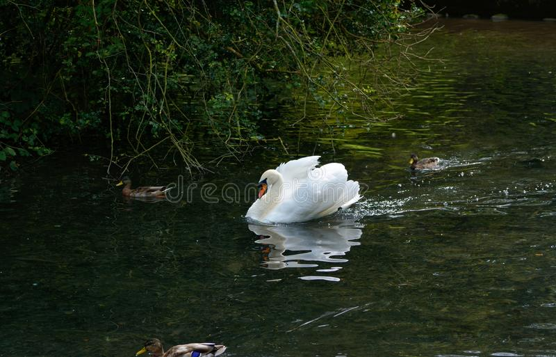 Mooie witte zwaan Cygnini op een rivier met eenden royalty-vrije stock afbeelding