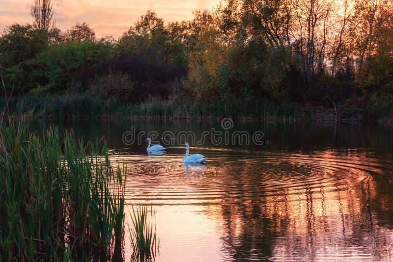 Mooie witte zwanen in het meer in zonsonderganglicht, aardlandschap stock afbeelding