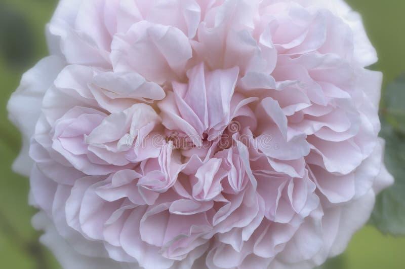Mooie zachte geconcentreerde lichtrose nam bloesemmacro toe royalty-vrije stock afbeelding