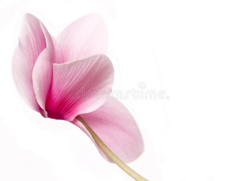 Mooie zachte roze cyclaam stock fotografie