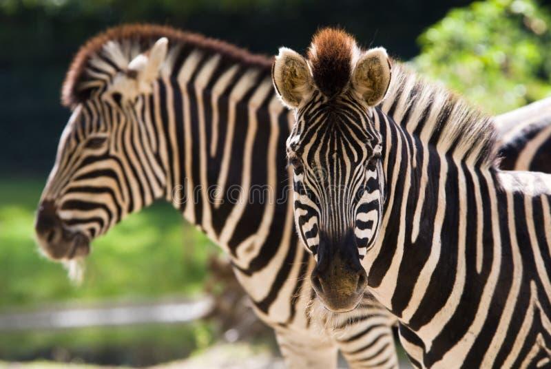 Mooie zebra stock afbeelding