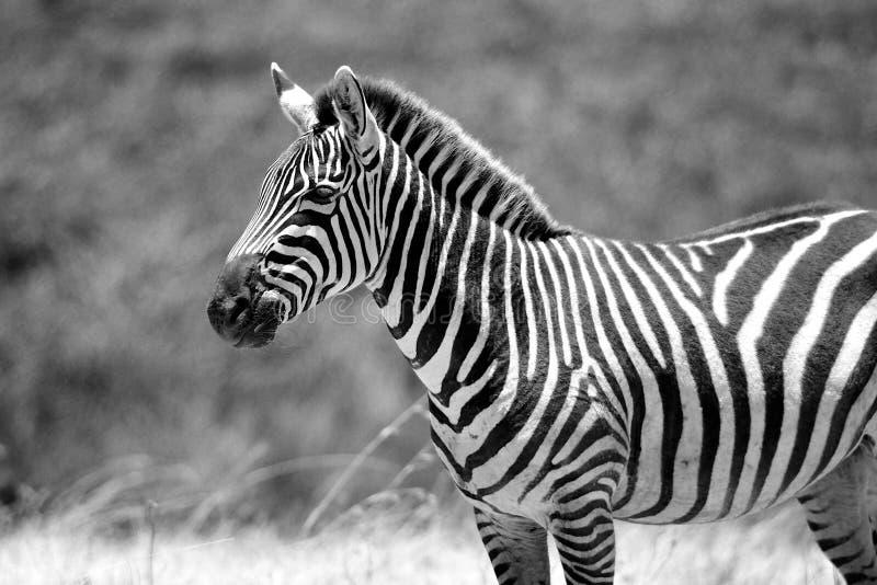 Mooie zebra op een zonnige middag in Tanzania stock fotografie