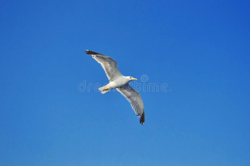 Mooie zeemeeuw vliegt op de blauwe lucht royalty-vrije stock afbeelding
