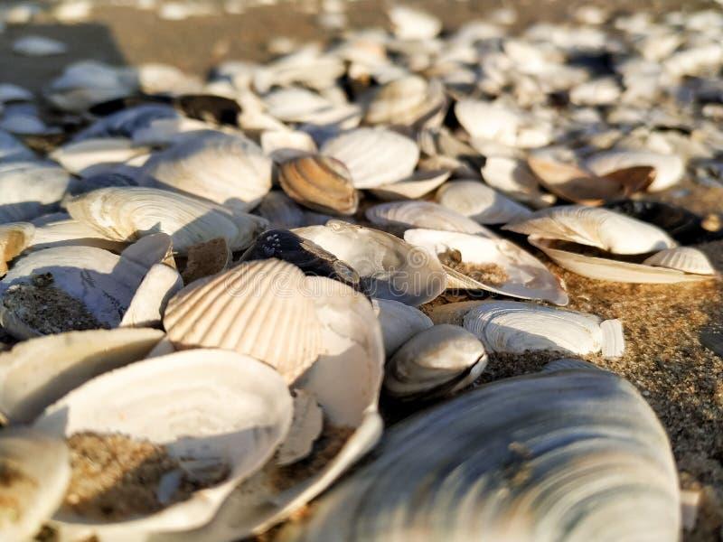 Mooie zeeschelpen op de kust stock afbeelding