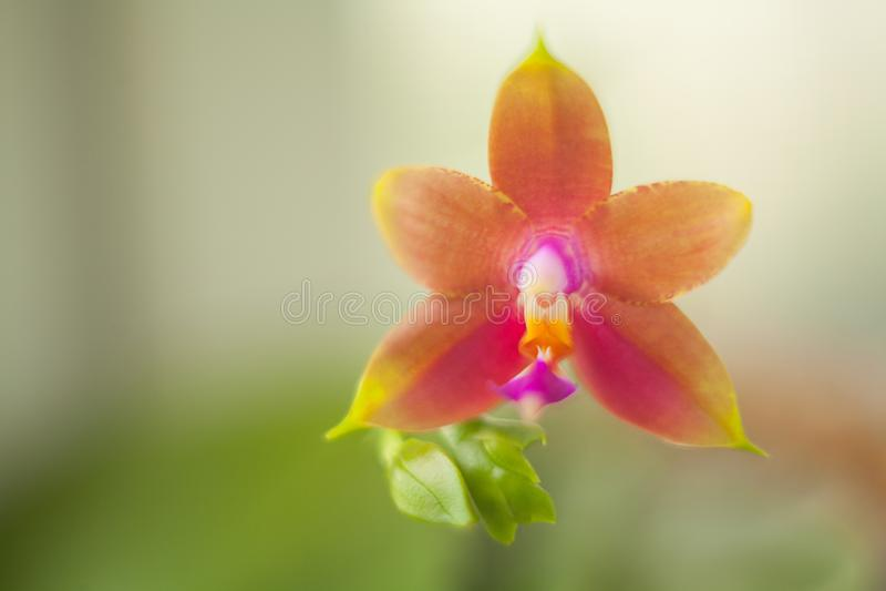Mooie zeldzame orchidee in pot op vage achtergrond royalty-vrije stock foto