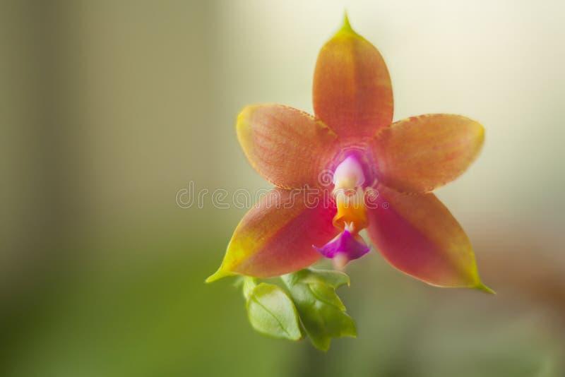 Mooie zeldzame orchidee in pot op vage achtergrond stock foto