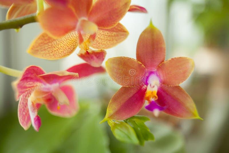 Mooie zeldzame orchidee in pot op vage achtergrond royalty-vrije stock afbeelding