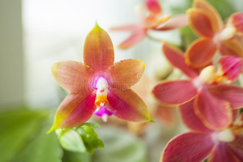 Mooie zeldzame orchidee in pot op vage achtergrond royalty-vrije stock foto's