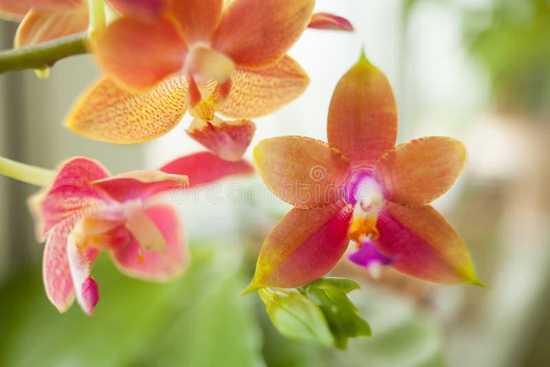 Mooie zeldzame orchidee in pot op vage achtergrond stock foto's