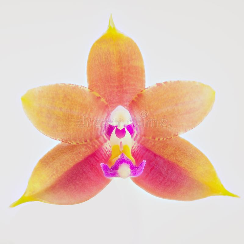 Mooie zeldzame orchidee in pot op witte achtergrond stock foto's