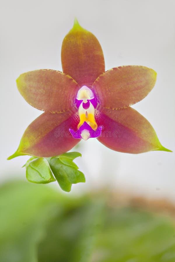 Mooie zeldzame orchidee in pot op witte achtergrond stock afbeeldingen