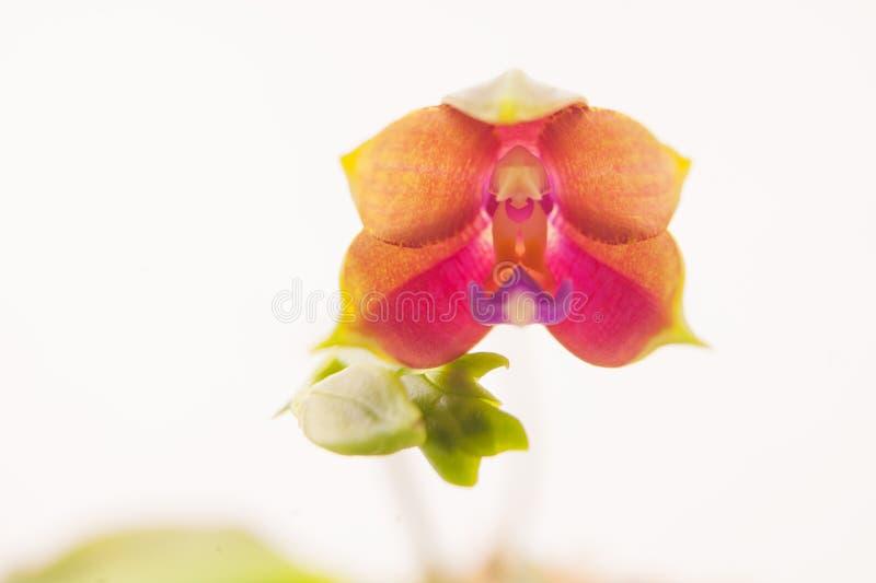 Mooie zeldzame orchidee in pot op witte achtergrond stock fotografie