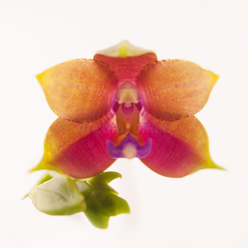 Mooie zeldzame orchidee in pot op witte achtergrond stock afbeelding