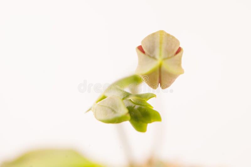 Mooie zeldzame orchidee in pot op witte achtergrond royalty-vrije stock foto's