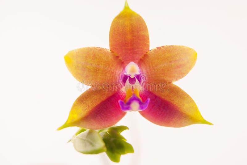 Mooie zeldzame orchidee in pot op witte achtergrond royalty-vrije stock afbeeldingen