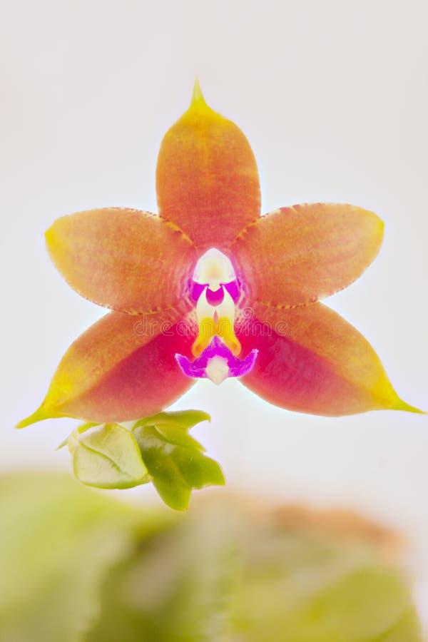 Mooie zeldzame orchidee in pot op witte achtergrond stock foto